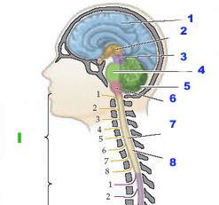 central_nervous_system-sm