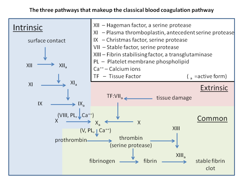 classical_blood_coagulation_pathway